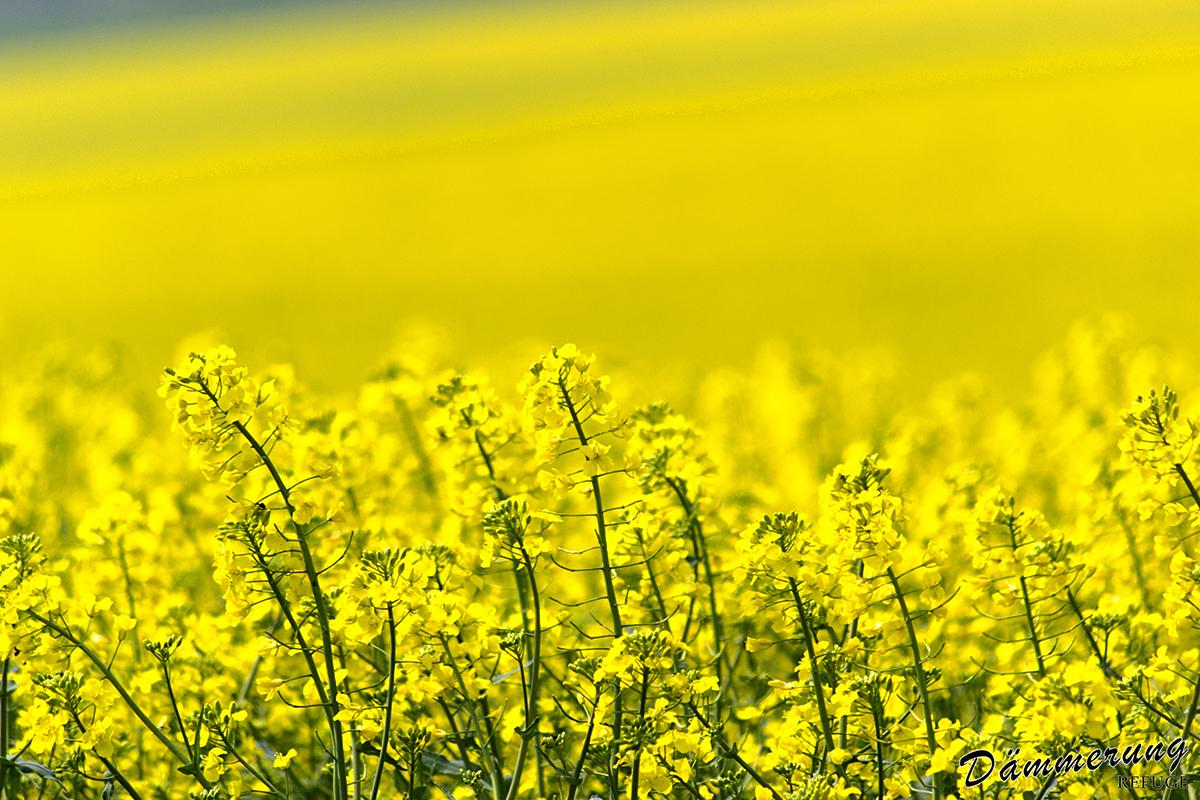 Žluté moře